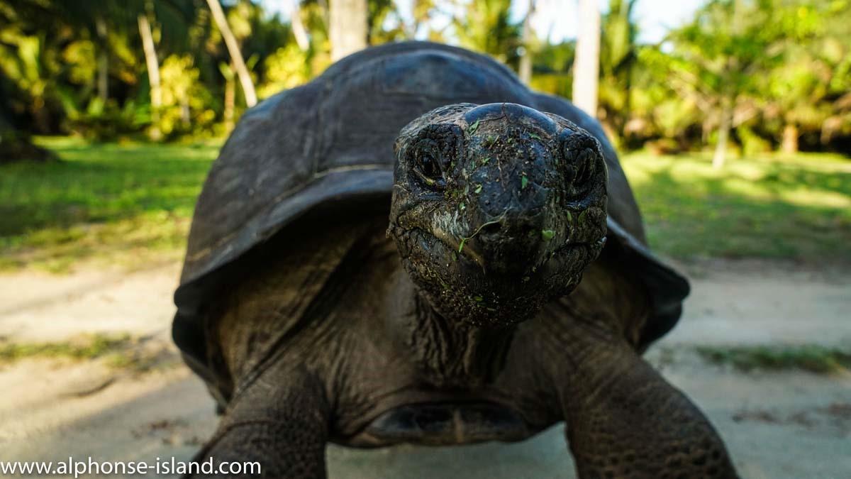 aldabra-island-skoldpadda